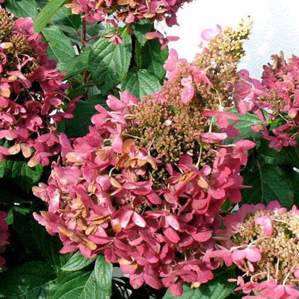Pinky Winky Hydrangea Blooming