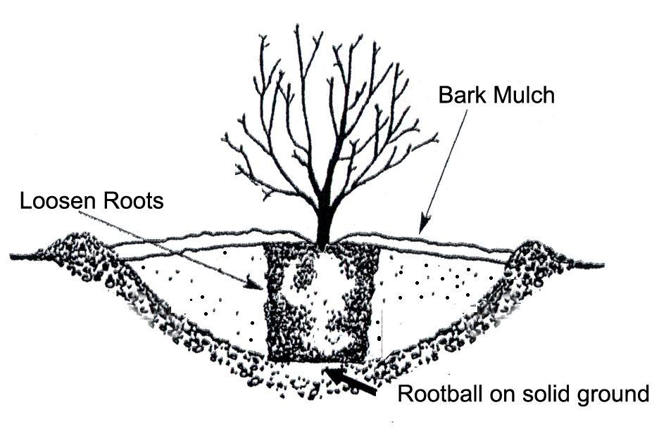 planting  transplanting  and fertilizing hydrangeas