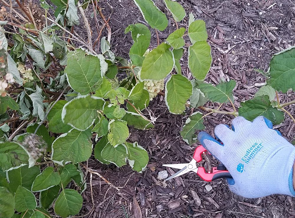 pruning-hydrangeas-compressor.jpg
