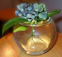 Propagating Hydrangeas Plant Addicts