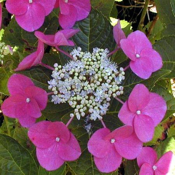 Rotdrossel Hydrangea Pink Blooms