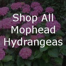Shop All Mophead Hydrangeas