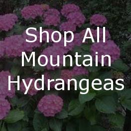 Shop All Mountain Hydrangeas