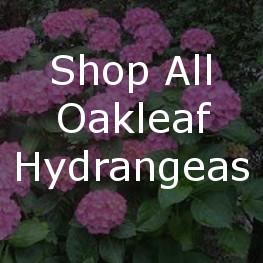 Shop All Lacecap Hydrangeas