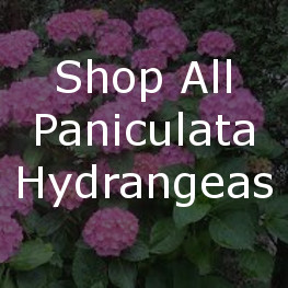Shop All Paniculata Hydrangeas
