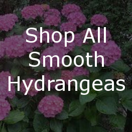 Shop All Smooth Hydrangeas