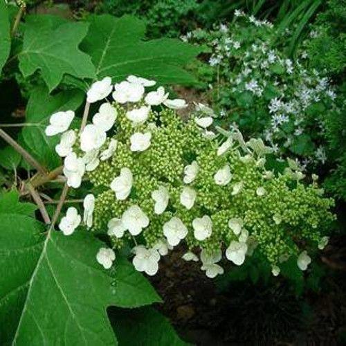 Sikes Dwarf Hydrangea White Blooms