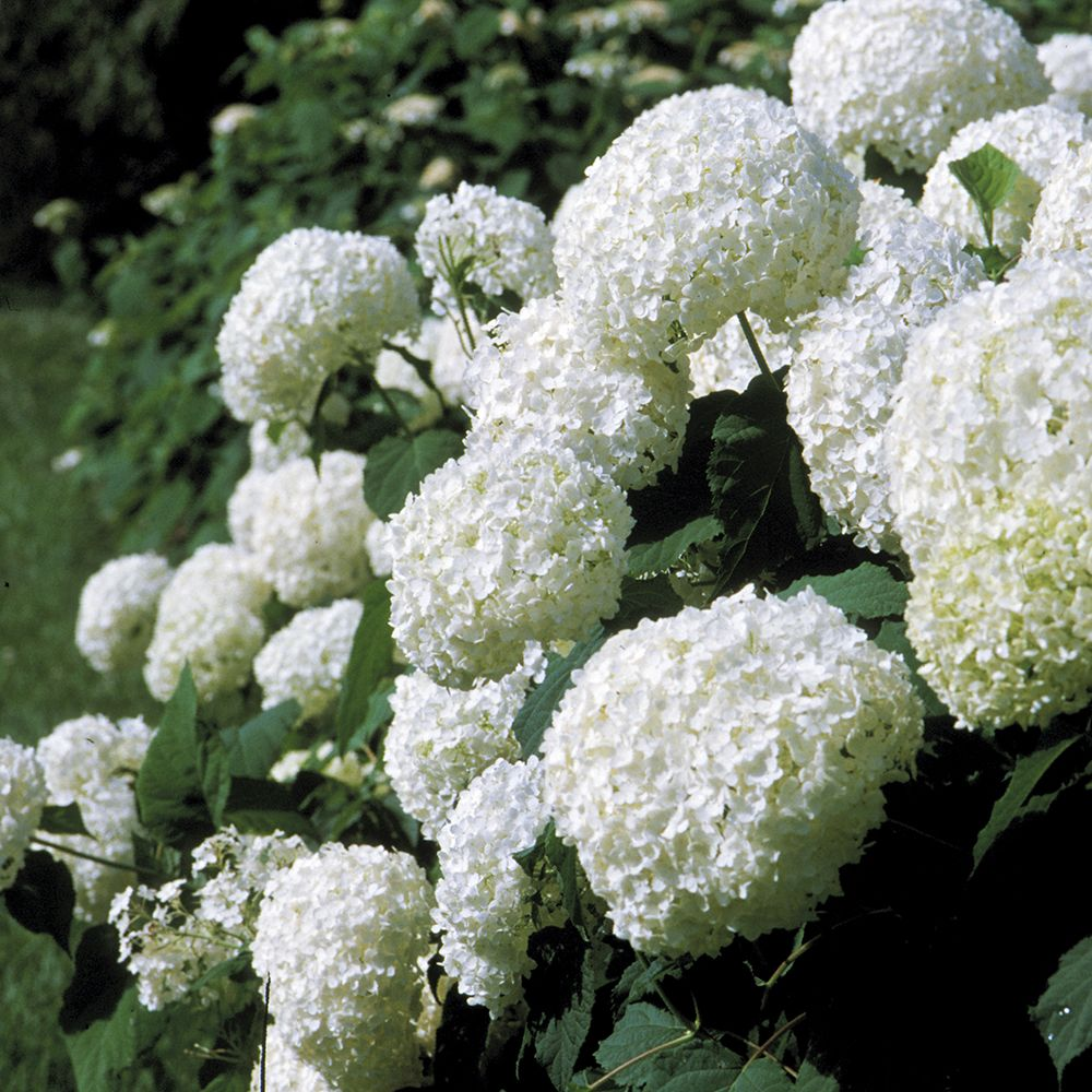 The Complete Guide To All Hydrangea Types Plant Addicts