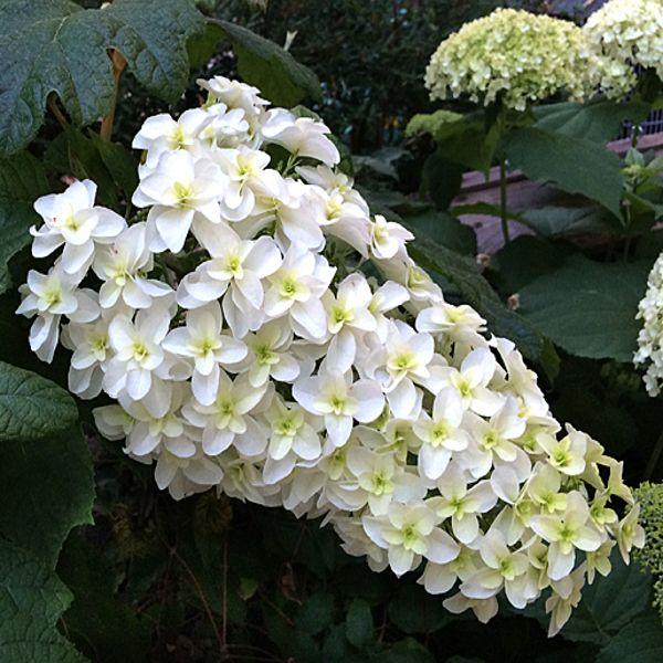 Snowflake Oakleaf Hydrangea White Blooms