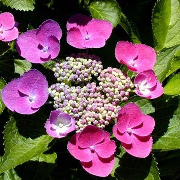 Taube Hydrangea Pink Flowers