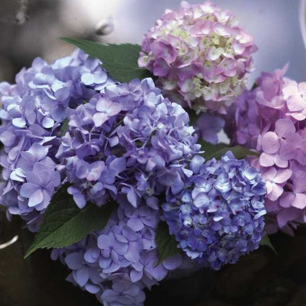 The Original Endless Summer Hydrangea Blooming