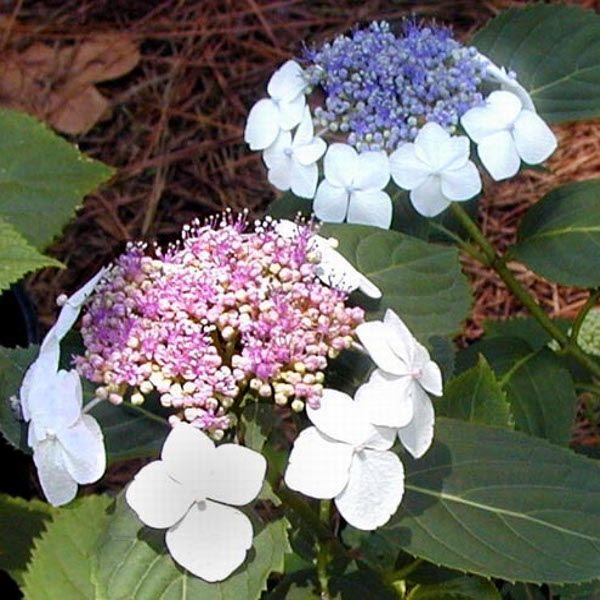 Tokyo Delight Hydrangea Flowers