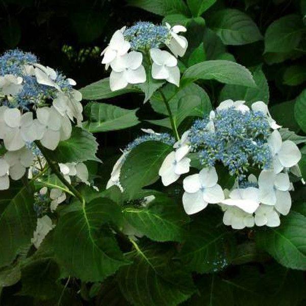 Veitchii Hydrangea Flowers
