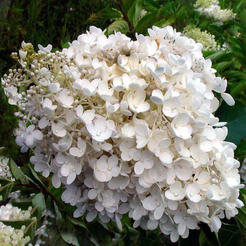 Webb Hydrangea White Flowers