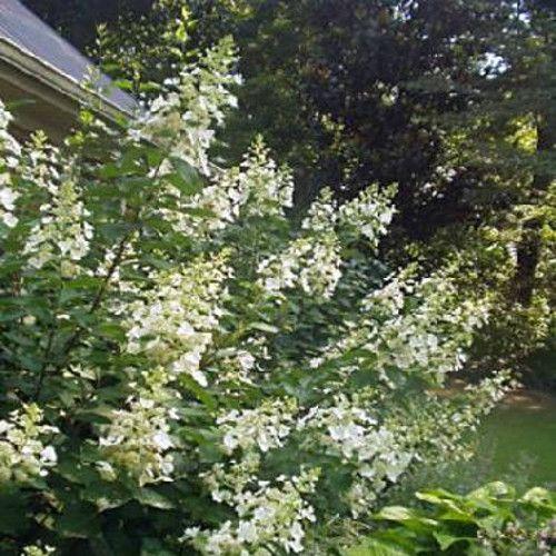 White Lady Hydrangea Bush